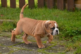 Continental Bulldog Seeblickbulls De Paul