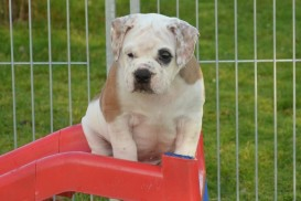 Continental Bulldog Seebklickbulls Iron Homer